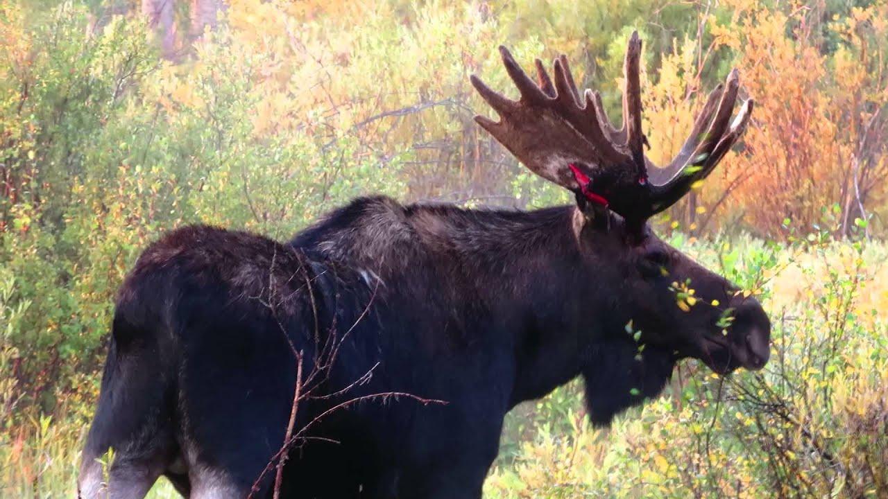Bull Moose,bloody antlers - YouTube
