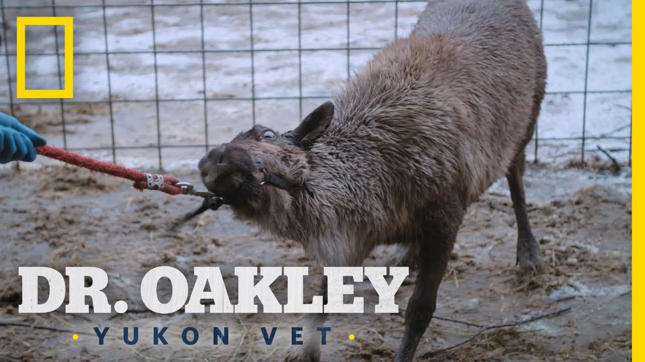 Helping Rudolph the Reindeer | Dr. Oakley, Yukon Vet