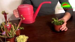 Смотреть видео Как содержать Венерину мухоловку (Dionaea muscipula)