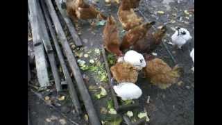 Kury wiejskie