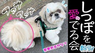 シーズー犬のしっぽを愛でる会【ファサファサ】shihtzu tail