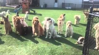 """group Sit"" For Dog Guru's Daycare Games At Rover Oaks Pet Resort"