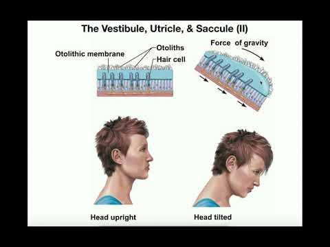 Anatomy | Physiology Of The Utricle & Saccule [Otolithic Organs]