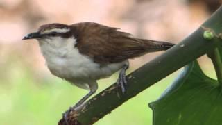 Aves de Venezuela - Ave de Barinas - Cucarachero Currucuchú - Campylorhynchus griseus