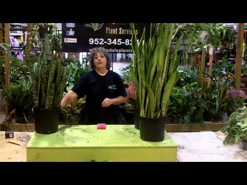tech talk with Lee Newton - snake plant