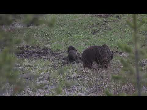 2019 Obsidian Mom and Cubs #Yellowstone #grizzlybearcubs #grizzlybears