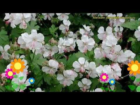 Герань кембриджская Биоково. Краткий обзор, описание характеристик geranium x cantabrigiense Biokovo