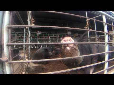 farmLife: no smell pigs commercial operation
