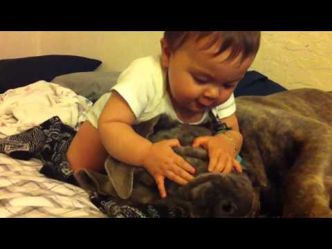 Cane Corso mastiff gets attacked!