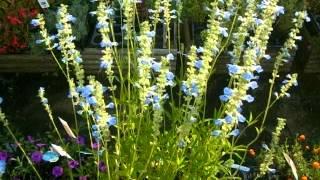 サルビア、セージの仲間、ボッグセージの育て方 動画作成:花の館 http:...
