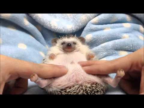 ハリネズミのえびす丸 022 ハリネズミのおなかマッサージ Hedgehog Gets Belly Rub
