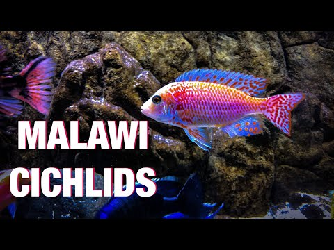 Guide To African Cichlid Care