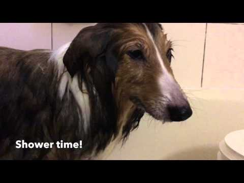Shower TIme for Sheltie Shetland Sheepdog Puppy Taking a Shower