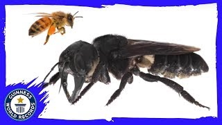 'Mega Bee' thought extinct has been rediscovered! - Guinness World Records