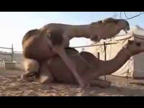 Как ебутся верблюды