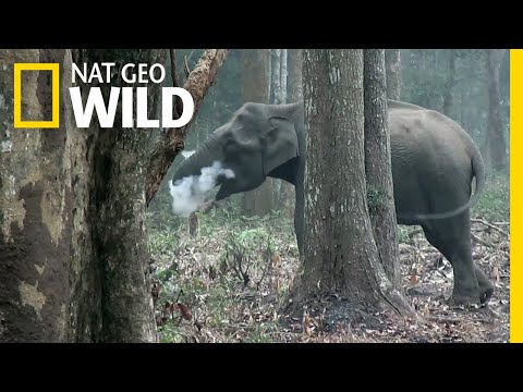 Wild Elephant Blows Smoke in Unusual Video | Nat Geo Wild