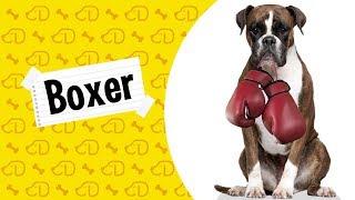 funny boxer dog videos