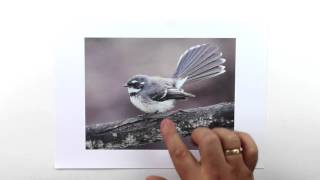 How to draw a realistic fantail. Part 1 - Selecting the lmage