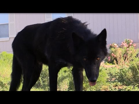 my-wolf-intends-to-kill:-a-patience-&-intensity-unrivaled-(by-all-others?)