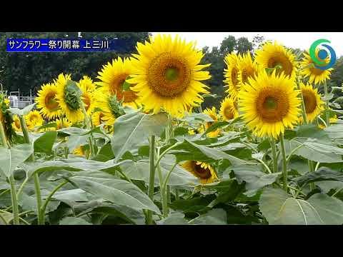 上 三川 サン フラワー 祭り