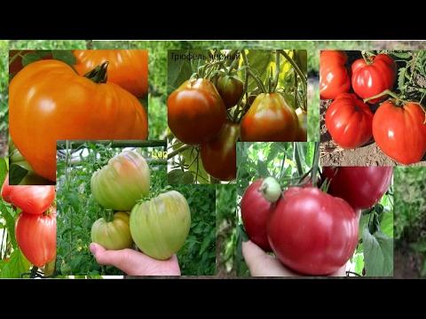 Обзор сортов крупноплодных помидоров. Лучшие сорта мясистых томатов 2017. | крупноплодных | томатов_2017 | помидор_2017 | помидоров | мясистых | томатов | сортов | лучшие | сорта | обзор