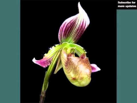 Slipper Orchids Identify Breed By Picture Flower Slipper Orchids