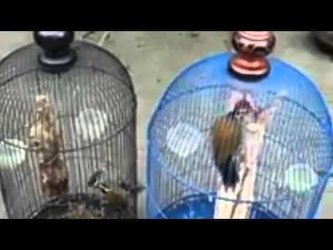 Burung Platuk Bawang Jari 3 Vor Total