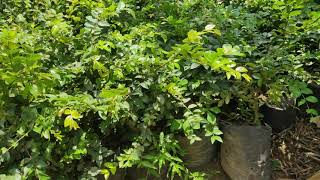 Bibit Tanaman Buah Anggur Brazil brasil Jaboticaba 30cm