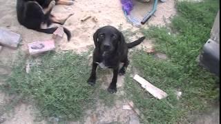 ТОП 5 Самых черных собак ютуба. Собака номер 1. Top 5 Most fatty dogs youtube. Dog number 1.
