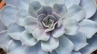 Эхеверия -  каменная роза. Как ухаживать за цветком зимой..