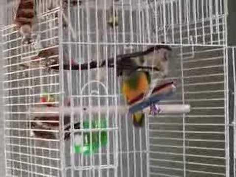 Senegal Parrot Talking And Singing