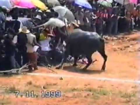 Nature fights back: Water buffalo attacks crowd in Thailand event