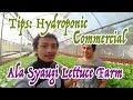 Tips Hydroponic Commercial - Syaugi Lettuce Farm
