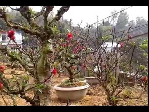 Xuân 2016: Đào Thất Thốn tiến vua tuyệt đẹp chơi Tết
