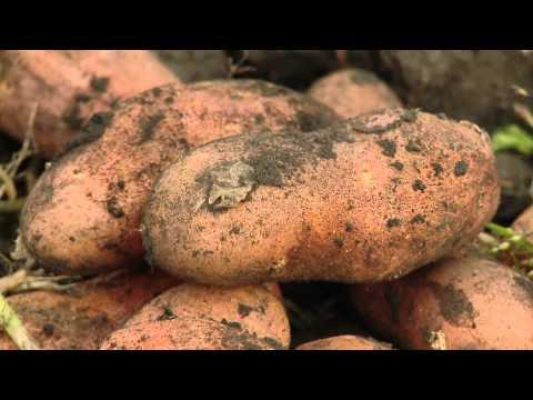 Картофель, сорт Любава описание сорта и отзывы