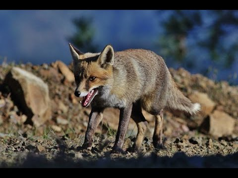Ten minutes documentary about Cyprus Red fox - by George Konstantinou