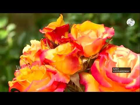 В Бакинском ботаническом саду вывели десятки новых сортов роз