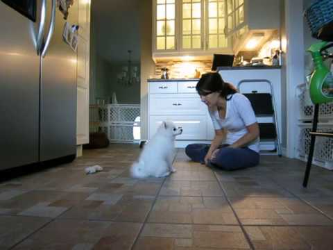 Mini American Eskimo Puppy Does Tricks