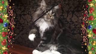 ЛИРИКУМ Жириновский 4 мес. с хвостиком - крупный меховой котенок мейн-кун  / взвешивание