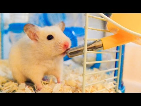 How Much Water Do Hamsters Need? – Hamsters 101