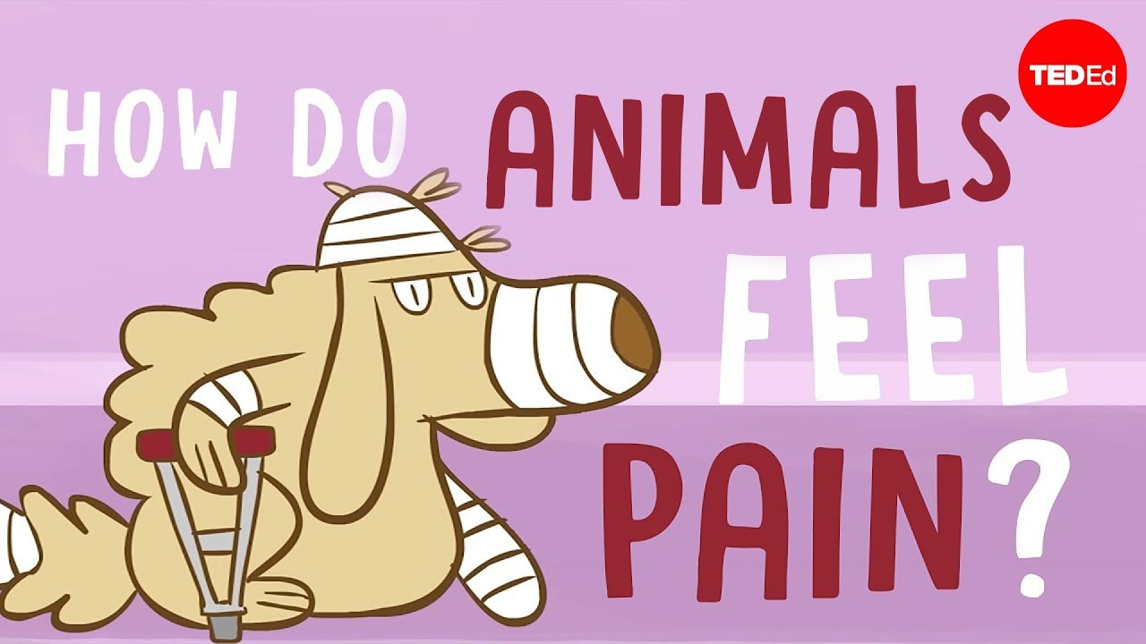 How do animals experience pain? - Robyn J. Crook by : TED-Ed