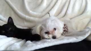 Maltese Dog Loves Cat