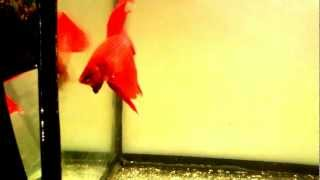 Аквариумные рыбки Петушок дерется со своим отражением