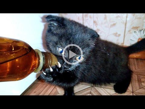 Смехотерапия # Домашние животные зажигают - юморина! Fun and funny moments from cute kitty ABI.