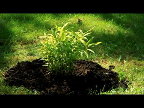 Planting & basic info on cold hary bamboo.