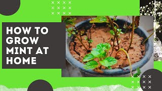 How to Grow Mint at Home || Easiest Method to Grow Mint | Mint…