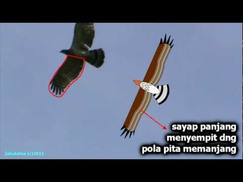 Sikep-madu Asia (Eastern Honey-buzzard)