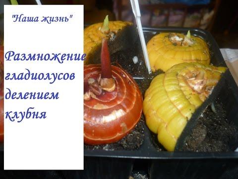 Вопрос: Какими сетками рекомендуют разделять гладиолусы чтобы сохранить сорт?