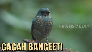Kenalan Sama Burung Sikatan Ninon Bersuara Merdu   SI OTAN