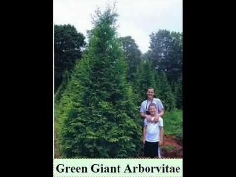 Craigslist Columbus Ohio Trees and Shrubs for Privacy
